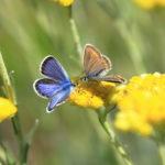 Papillons Azurés communs (mâle bleu-violet et femelle brun foncé)