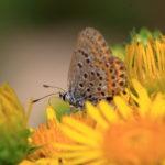 Papillon Azuré de la croisette