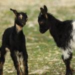 Chèvres du Rove (Var, FR)