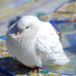 Pigeon Biset (Séville, ES)