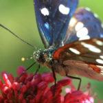 Papillon Sylvain azuré