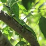 Lézard vert occidental dans le Parc national des Calanques (Bouches-du-Rhône, FR)
