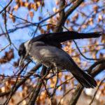 Corbeau à capuchon (Hongrie)