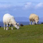 Moutons (Île de Skye, Écosse UK)